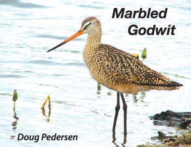 marbled-godwit