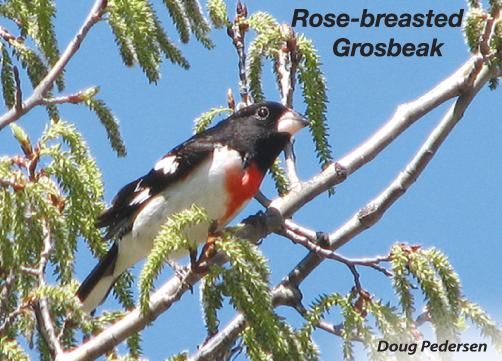 Rose-breasted-Grosbeak