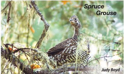 spruce-grouse